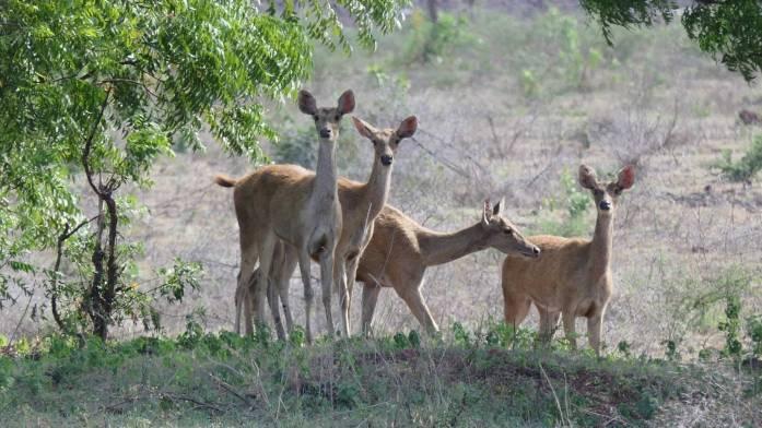 Kawanan Rusa Jawa di Baluran